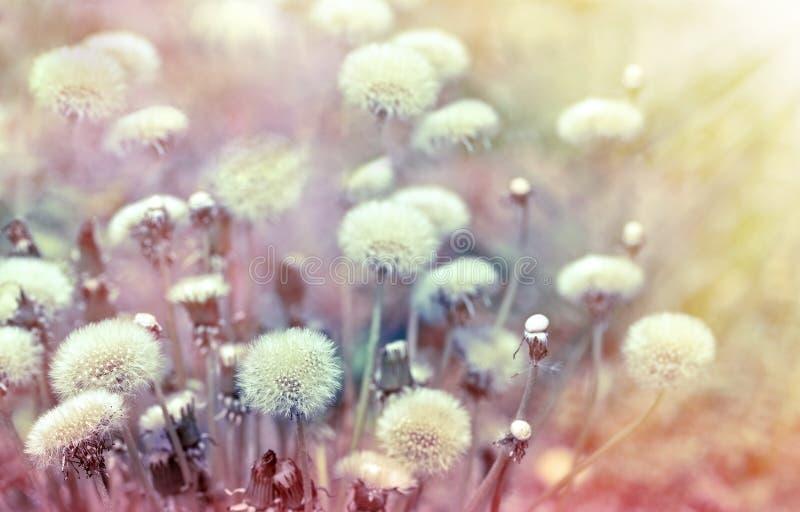 Graines de pissenlit illuminées par des rayons du soleil photos libres de droits