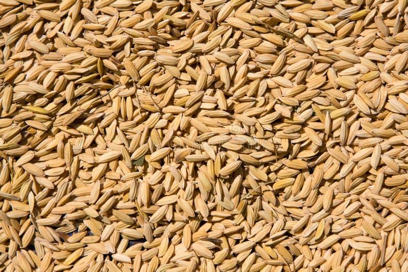 Graines de riz image stock