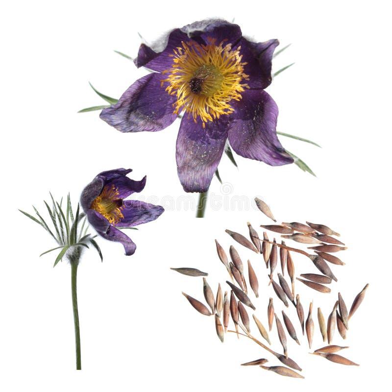 Graines et fleurs du pasqueflower ou des patens orientaux de Pulsatilla d'isolement sur le fond blanc photo libre de droits