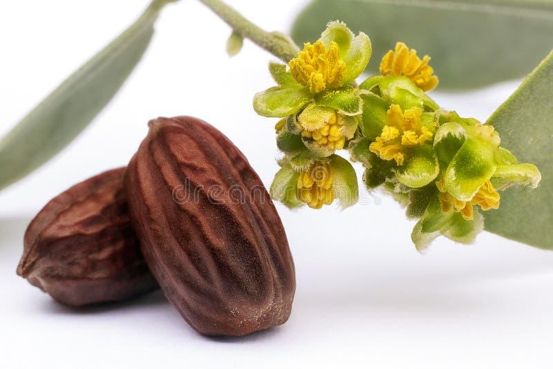 Graines et fleurs Simmondsia de jojoba chinensis images libres de droits