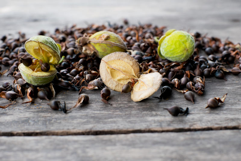 Graines fraîches d'Agarwood photographie stock libre de droits