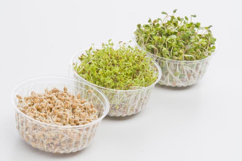 Graines germées de cresson, radis, blé images stock