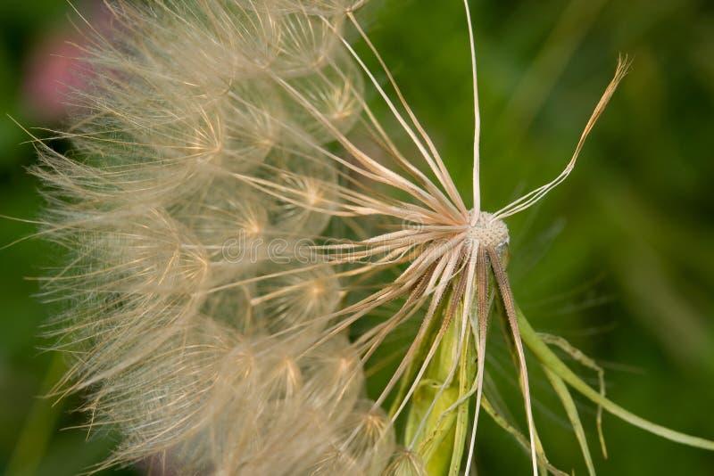 Graines soufflant dans le vent photo libre de droits