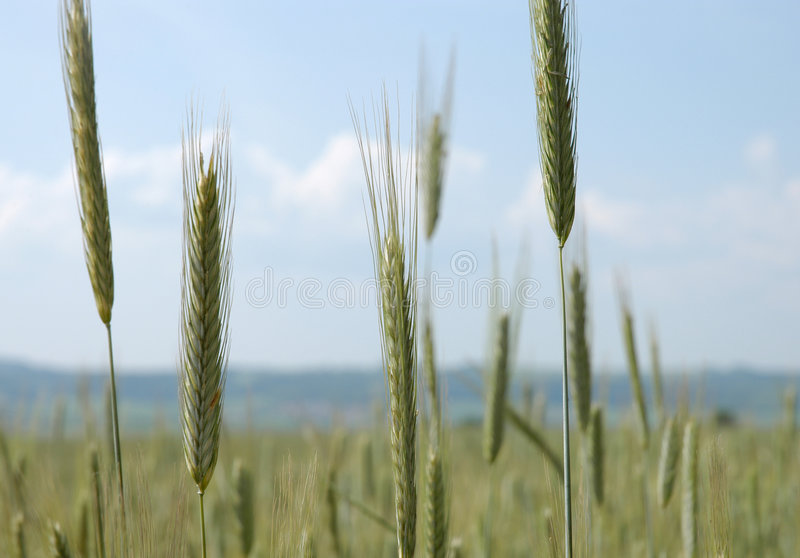Download Grainfield stock image. Image of sunny, clouds, harvest - 169091