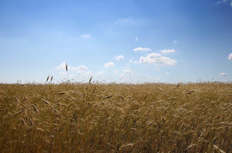 grainfield 免版税库存图片