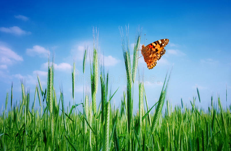 Grainfield and butterfly royalty free stock photography