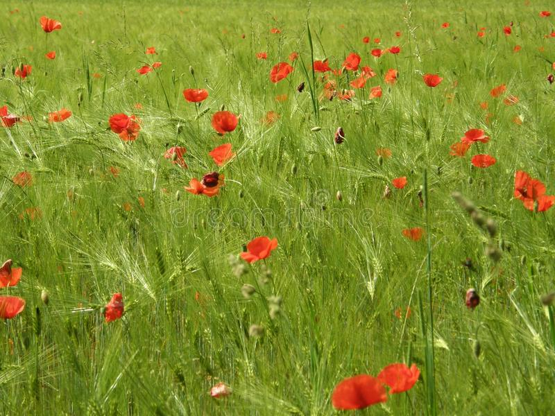 Grainfield with poppy seed royalty free stock images