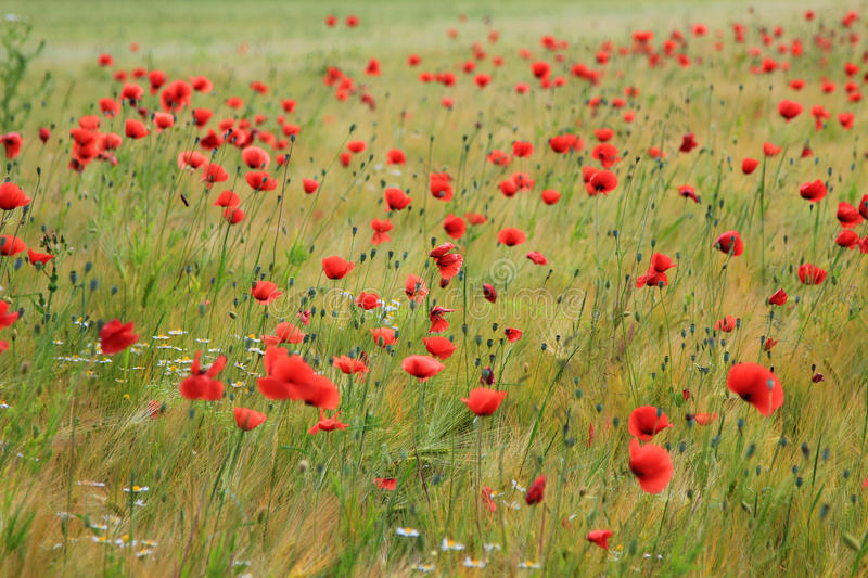 Grainfield with red poppies royalty free stock photo