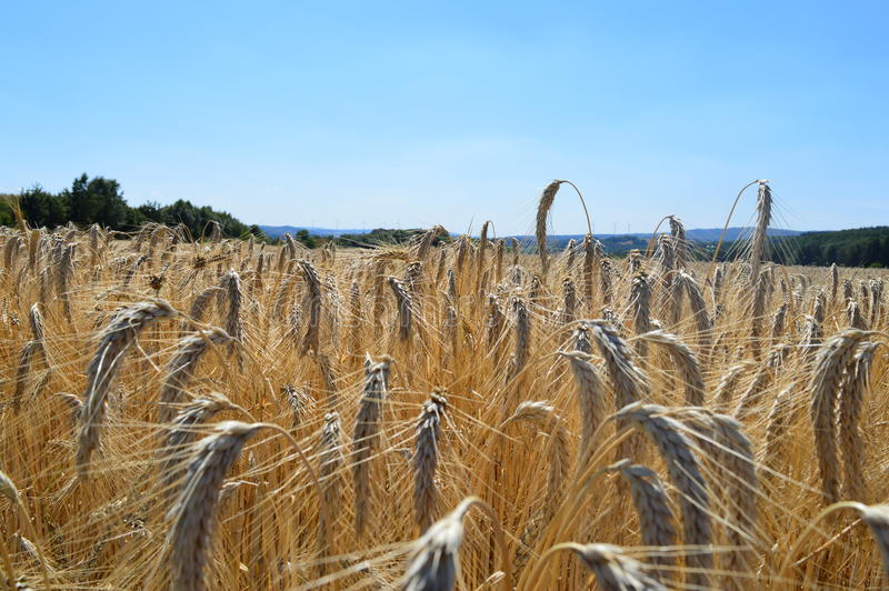 Grainfield in the summer royalty free stock photos