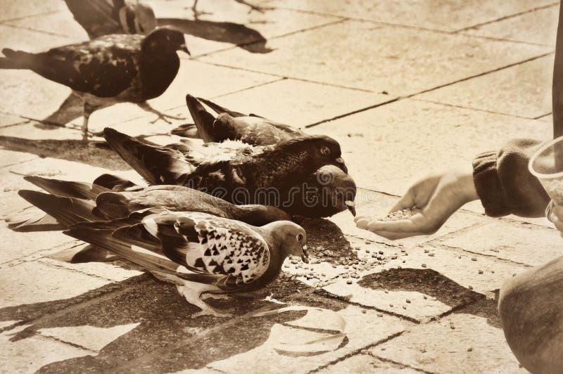 Grains d'alimentation des enfants au vintag d'oiseaux de colombes de pigeons images libres de droits