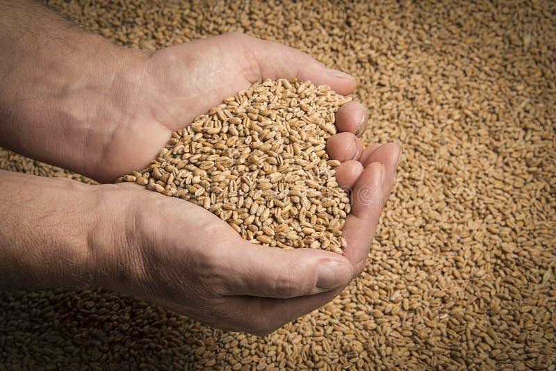 Grains de blé photographie stock libre de droits
