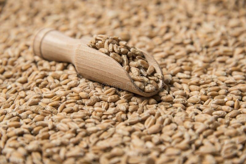 Grains de blé photos libres de droits