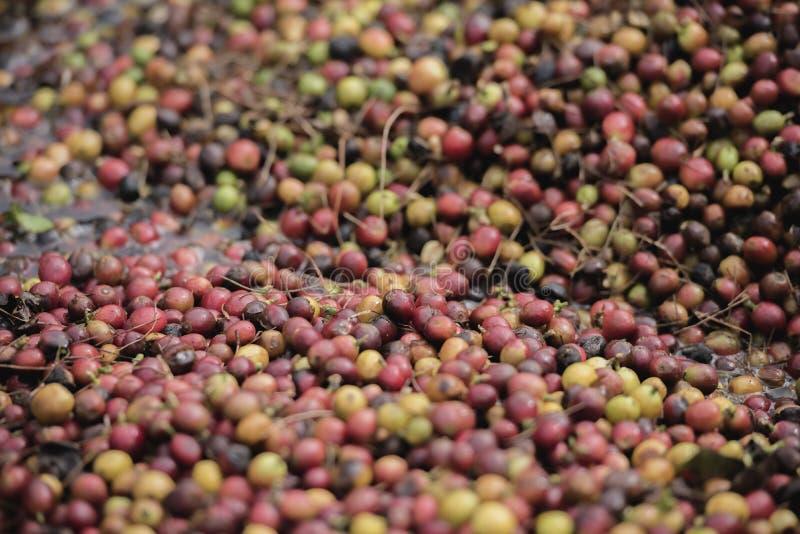 Grains de café mûrs prêts pour la récolte sur un caféier dans la plantation de café photo libre de droits