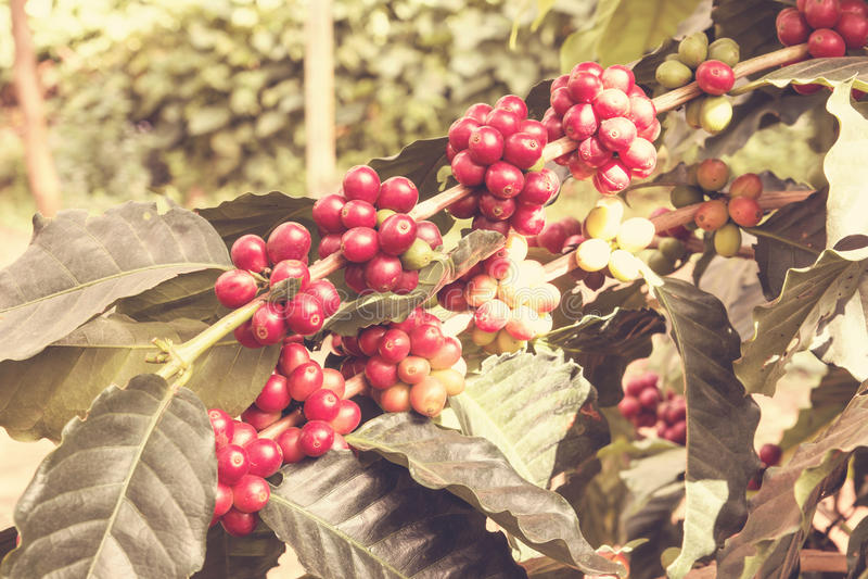 Grains de café mûrissant sur l'arbre photo stock