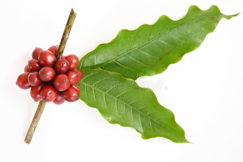 Grains de café mûrs images stock