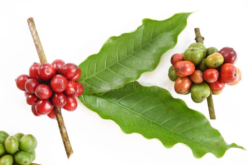 Grains de café mûrs image libre de droits