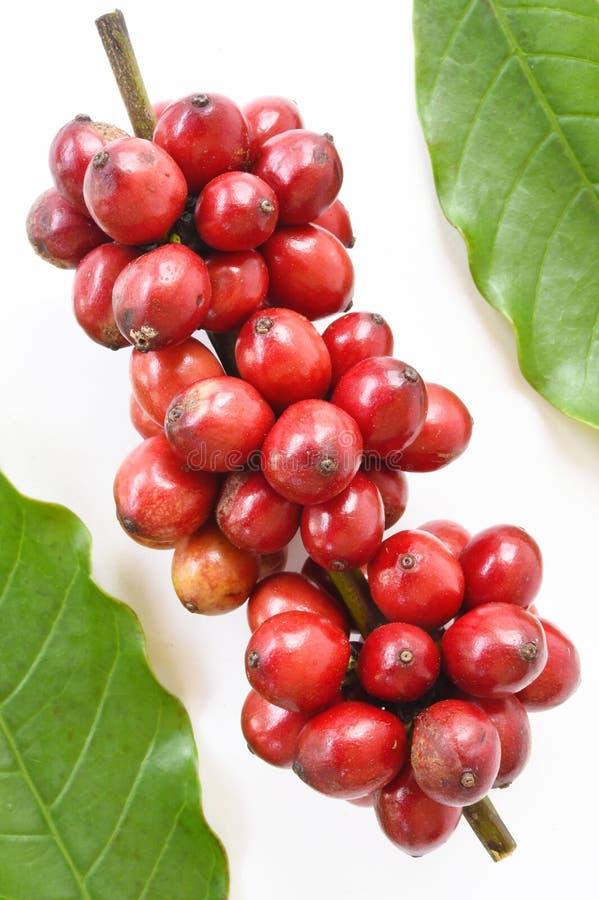 Grains de café mûrs photographie stock libre de droits