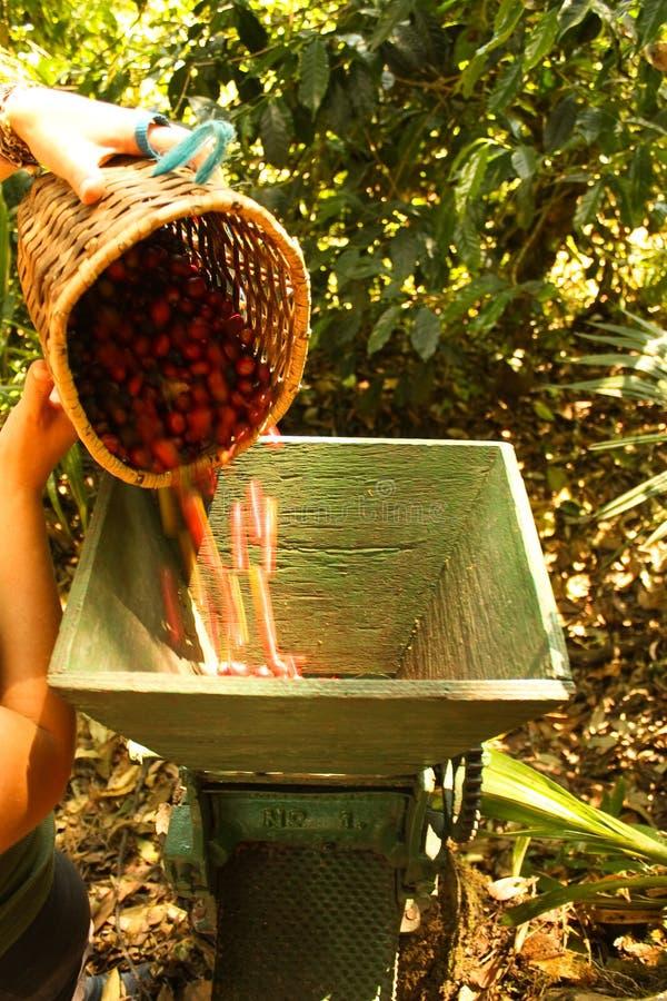 Grains de café organiques. photographie stock