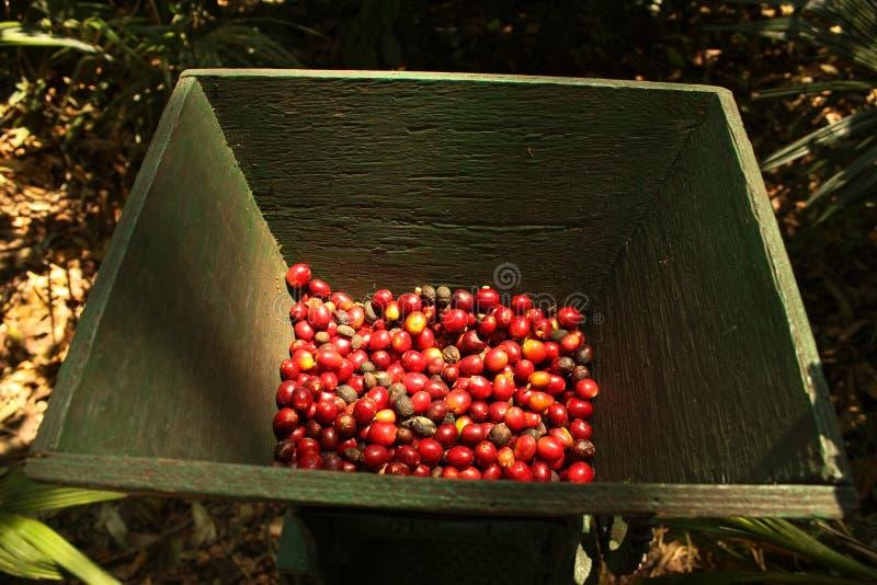 Grains de café organiques. photographie stock libre de droits