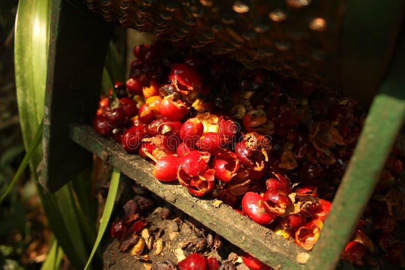 Grains de café organiques. photo libre de droits