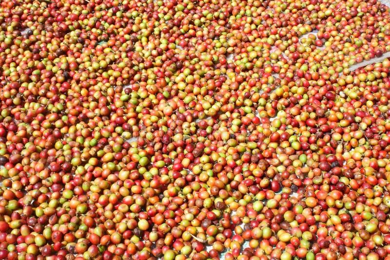 Grains de café organiques séchant en soleil photos libres de droits
