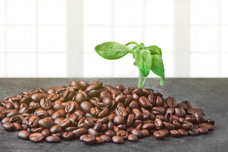 Grains de café rôtis avec les feuilles vertes sur le Tableau noir près de la fenêtre photographie stock libre de droits