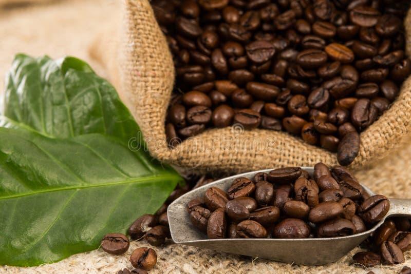Grains de café rôtis frais dans des feuilles de sac et de vert à jute images stock