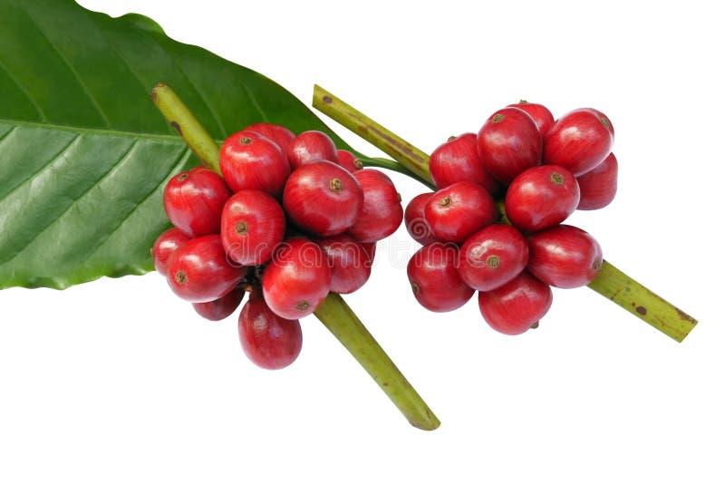 Grains de café rouges avec la feuille verte d'isolement sur le fond blanc, chemin de coupure photos libres de droits