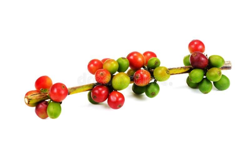 Grains de café rouges d'isolement sur le fond blanc Fermez-vous de frais photographie stock libre de droits