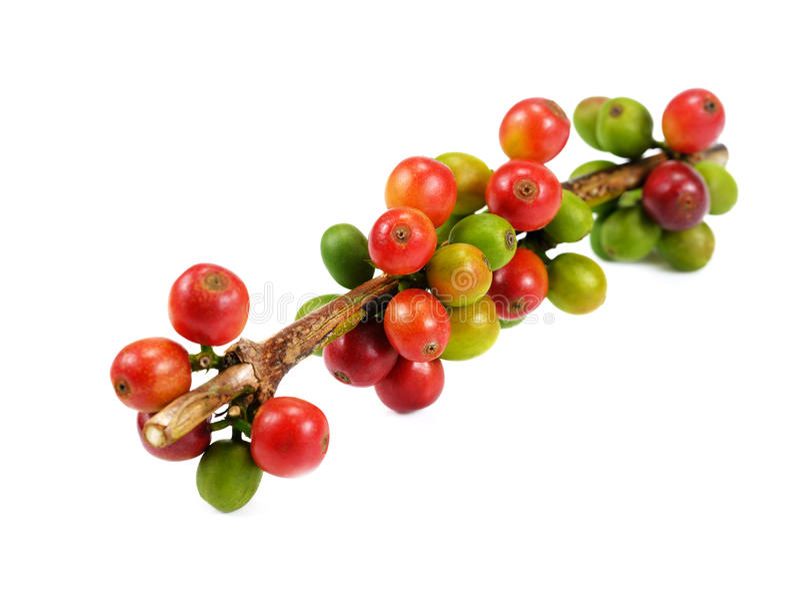 Grains de café rouges d'isolement sur le fond blanc Fermez-vous de frais photographie stock