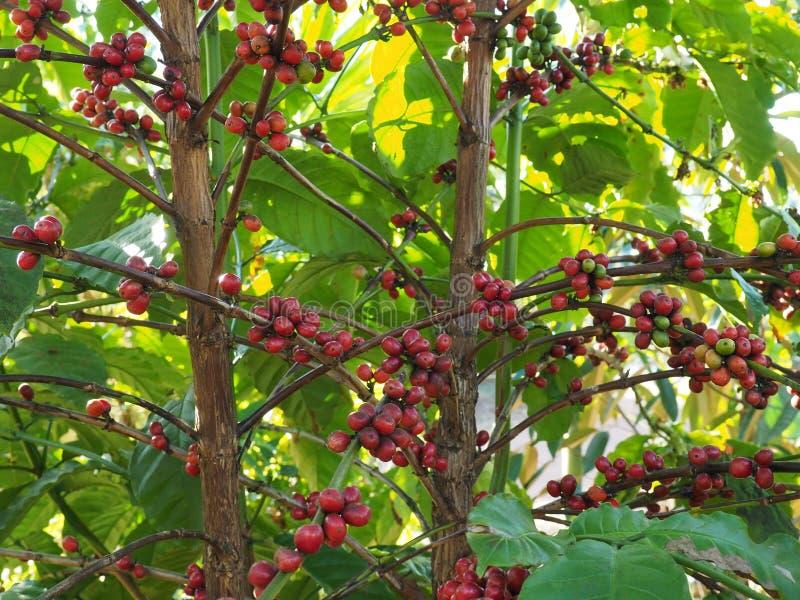 Grains de café rouges mûrissant sur une branche à la plantation de café et attendant pour moissonner image libre de droits