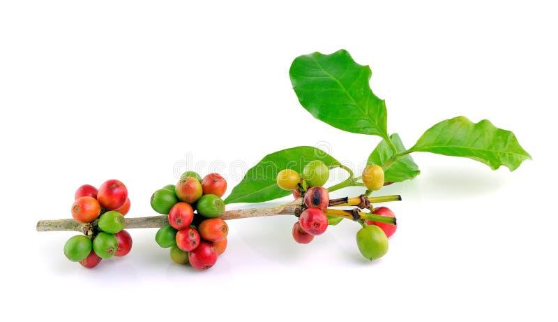 Grains de café rouges sur la branche photo stock