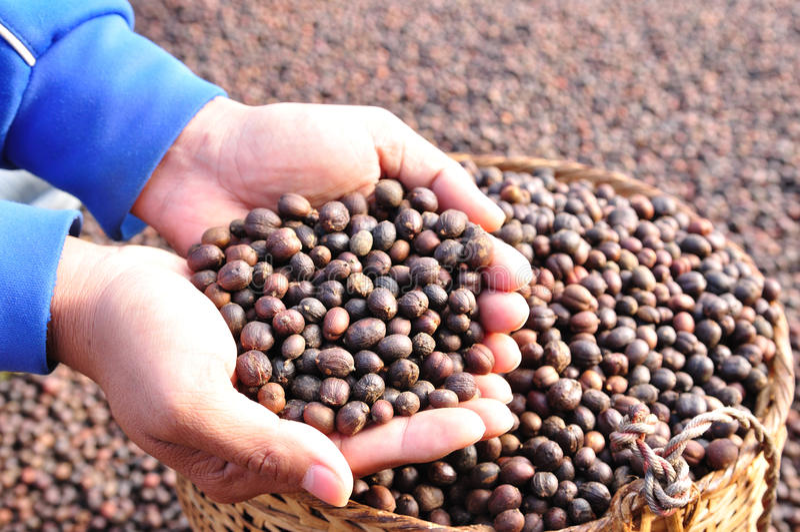 Grains de café secs de baies sur des mains images libres de droits