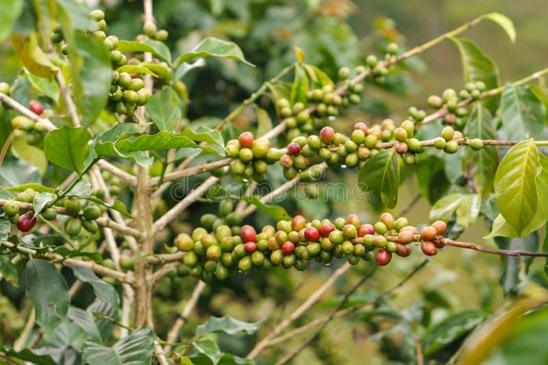 Grains de café sur le caféier image stock