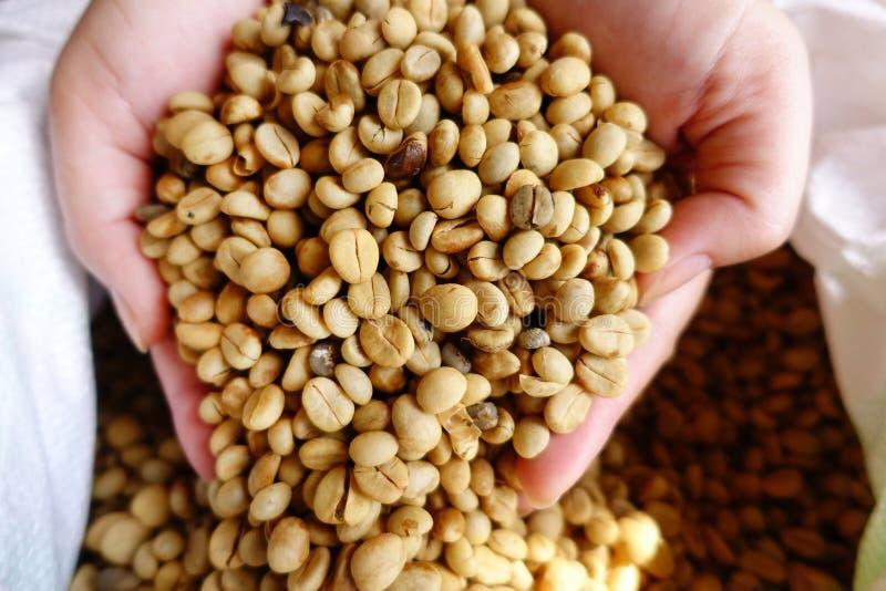 Grains de café verts à disposition photo libre de droits