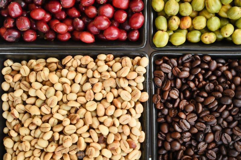 Grains de café verts, rôtis et frais photos libres de droits