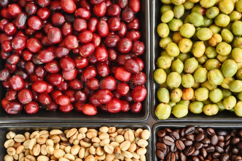 Grains de café verts, rôtis et frais image stock