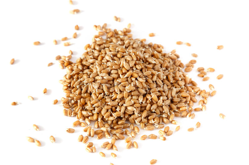 Grains of germinated wheat stock photo