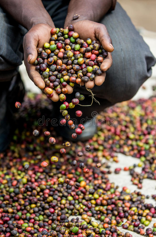 Grains of ripe coffee in the handbreadths of a person. East Africa. Coffee plantation. An excellent illustration royalty free stock photo