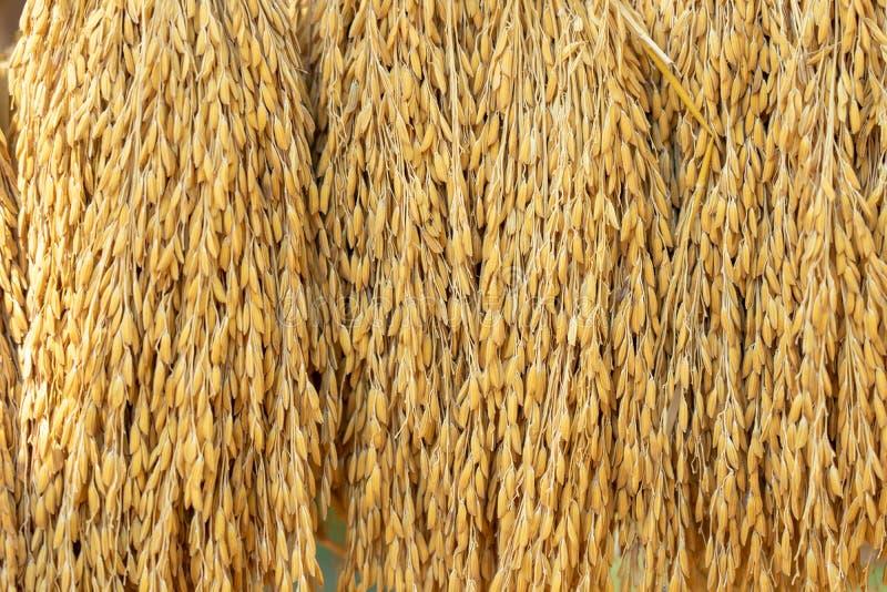 Grains secs de riz à l'arrière-plan avant d'entrer dans la trieuse de grain d'or de riz photos stock