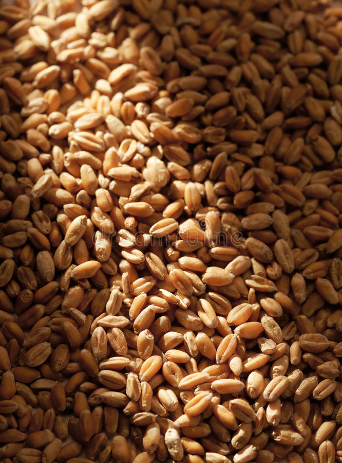 Download Grains of wheat stock photo. Image of backgrounds, crop - 25396630