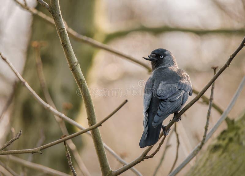 Grajo común con las percas quebradas del pico en ramas de árbol desnudas en un parque fotografía de archivo