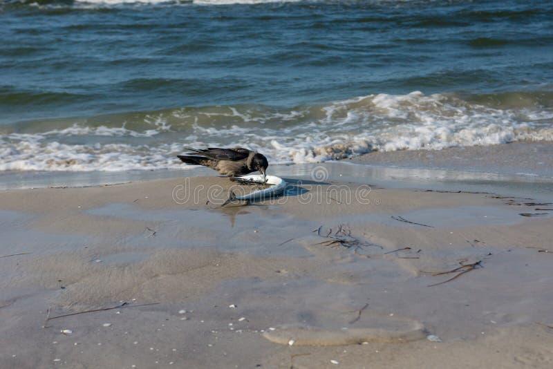 Grajo con una aguja en la playa fotos de archivo