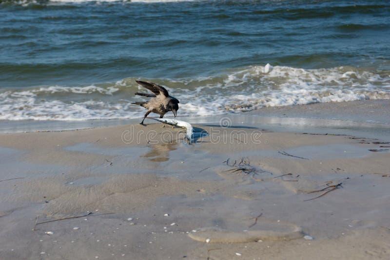 Grajo con una aguja en la playa foto de archivo libre de regalías
