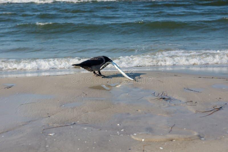 Grajo con una aguja en la playa fotografía de archivo libre de regalías