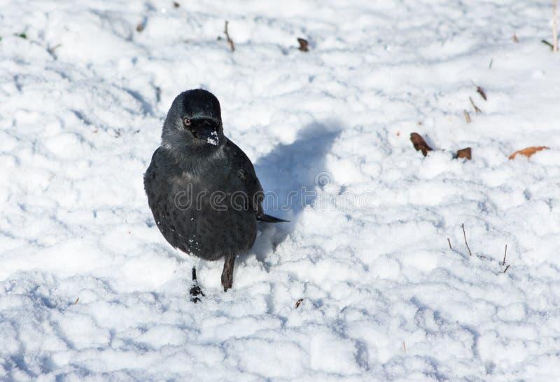 Grajo en una nieve fotos de archivo