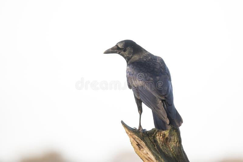 Grajo, frugilegus del Corvus fotos de archivo libres de regalías