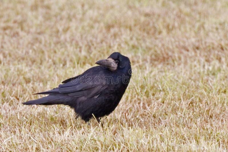 Grajo, frugilegus del Corvus, colocándose en campo foto de archivo