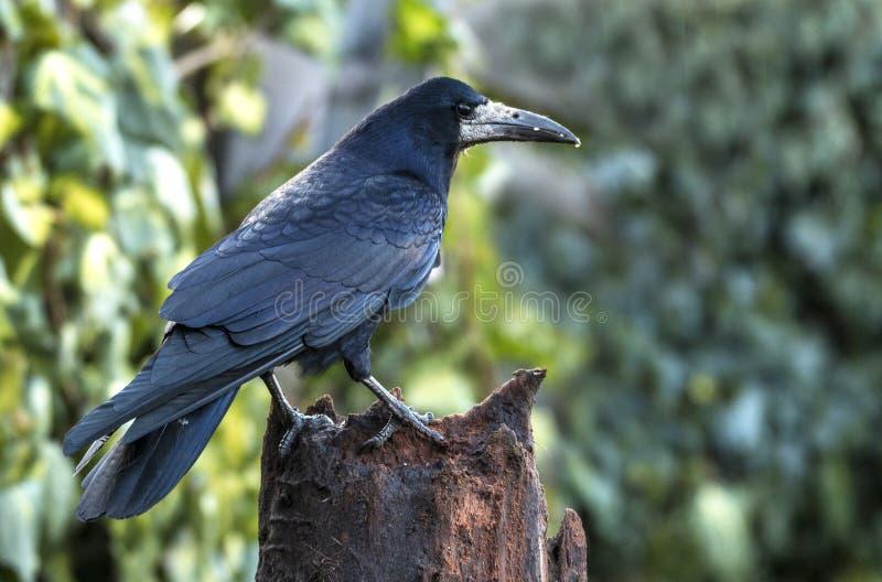 Grajo, frugilegus del Corvus Un pájaro negro grande imagen de archivo libre de regalías