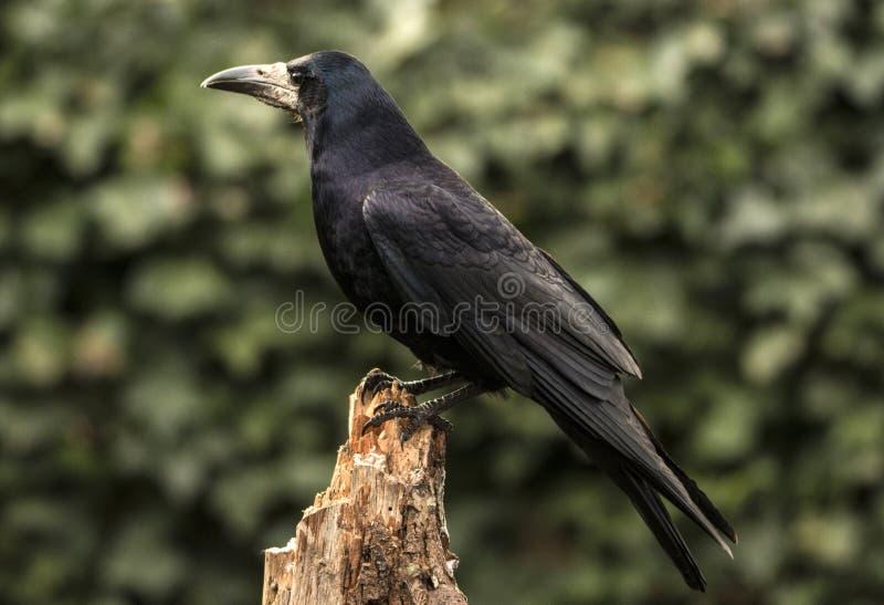 Grajo, frugilegus del Corvus Un pájaro negro grande fotos de archivo